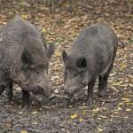 Wildschwein1