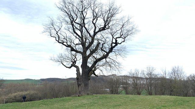 Flehmüllers Eiche